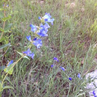 bluepenst